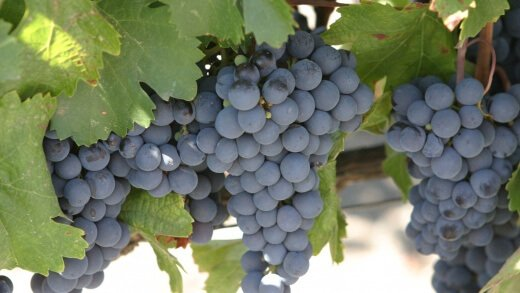 Malbec_grapes